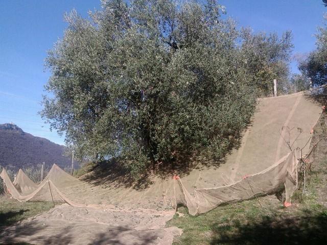 Tempo di raccolta olive: la Comunità Montana del Sebino analizza l'olio