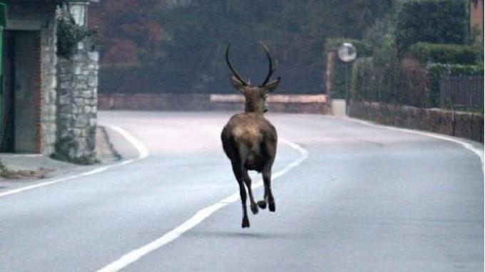 Cervo finisce sulla ss39 dell'Aprica, investito da un'auto ora si trova al Cras di Paspardo