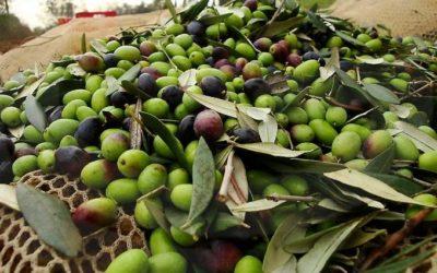 L'Apav pianifica corsi edimostrazioni per il recupero dell'olivicoltura