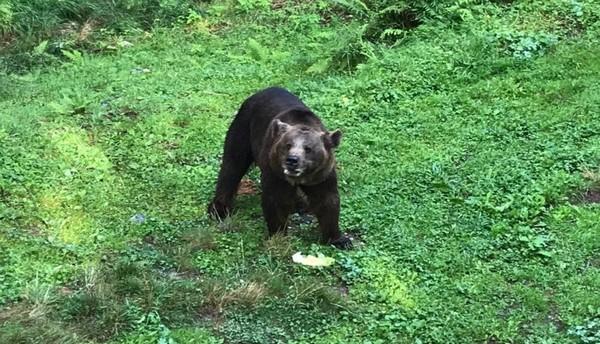 Due orsi nell'osservatorio di Aprica, le visite s'impennano