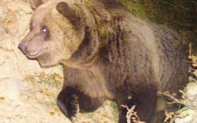 Riecco l'orso: due pecore sbranate in Val Canè